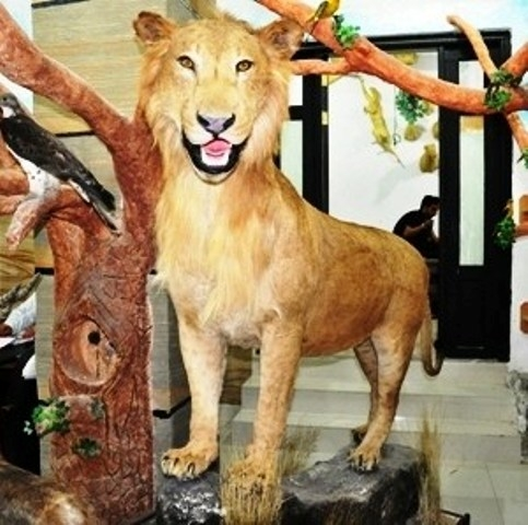 Stuffed Lion Created By Abu Odai Posted By Al Maha Taxidermy