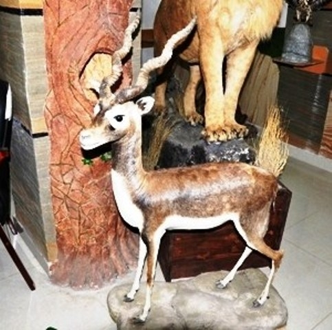Stuffed Deer Created By Abu Odai Posted By Al Maha Taxidermy